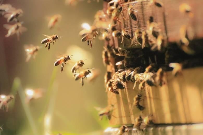Honigbienen fliegen um Bienenstock